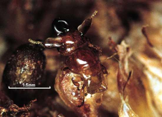 Philosycus monstruosus
