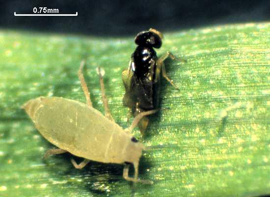 Aphelinus varipes