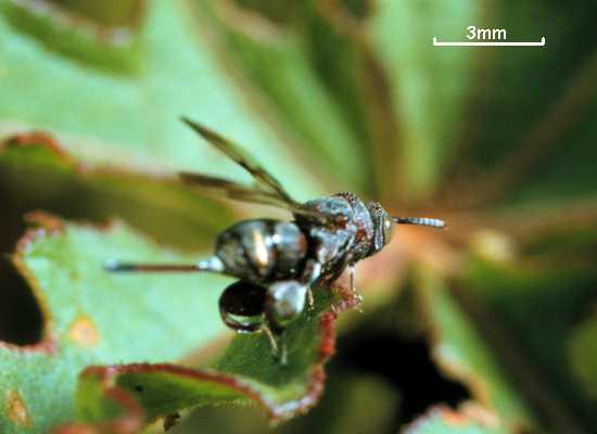 Cratocentrus