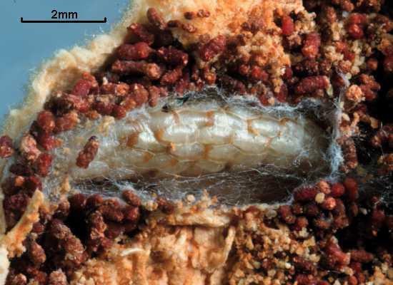 Copidosoma plethoricum