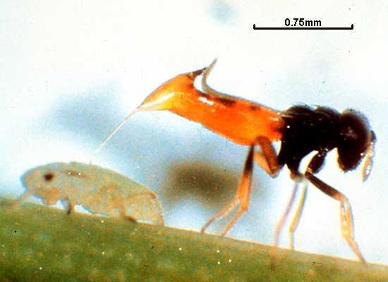 Aphelinus asychis