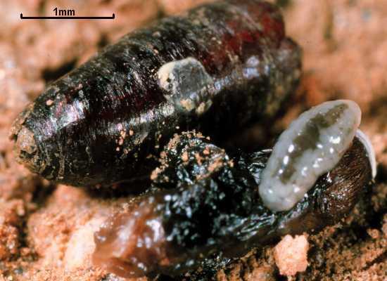 Pachycrepoideus vindemmiae