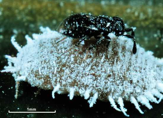 Zarhopalus corvinus