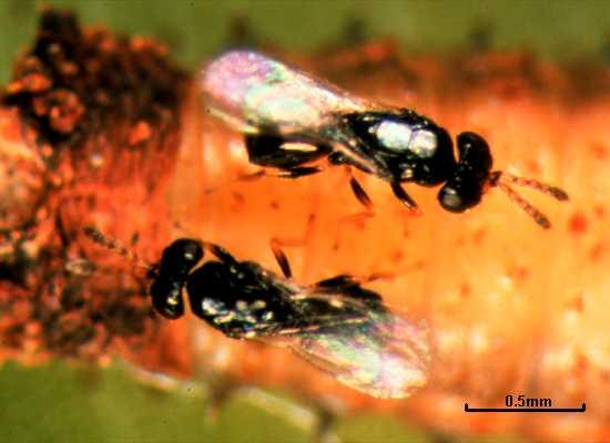 Tetrastichus brontispae