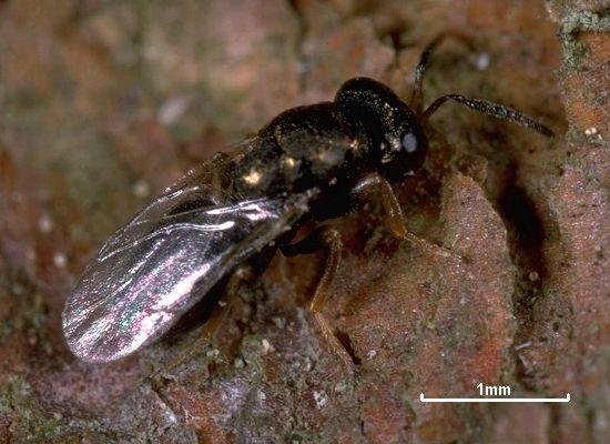 Tomicobia seitneri