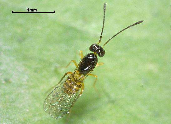 Cosmocomoidea ashmeadi