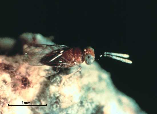 Anagyrus agraensis