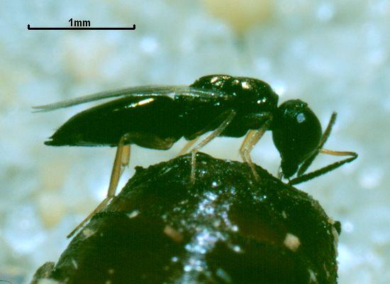 Dibrachys microgastri
