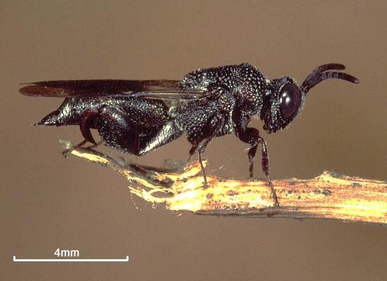 Acanthochalcis nigricans
