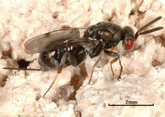 Monodontomerus obscurus