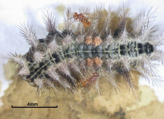 Aroplectrus dimerus