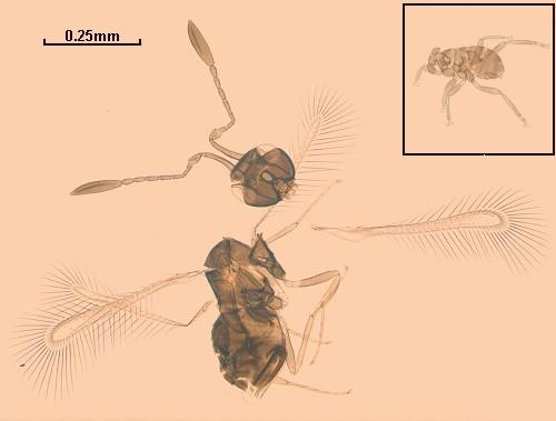 Dicopomorpha echmepterygis