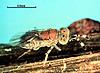 Metaphycus lounsburyi