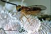 Leptomastix dactylopii