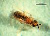 Acerophagus mundus