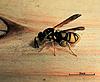 Leucospis affinis