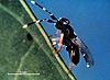 Anagyrus lopezi
