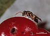 Halticoptera laevigata