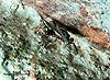 Trigonura