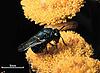 Perilampus hyalinus