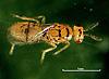 Cirrospilus