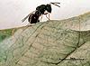 Pteromalus puparum