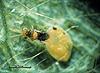 Encarsia tricolor