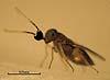 Anagyrus mangicola