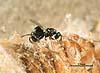 Podagrionella lichtensteini