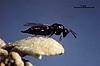 Galeopsomyia