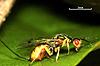 Bootanomyia stigmatizans