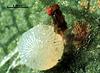 Trichogrammatoidea bactrae