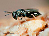 Anisopteromalus calandrae