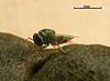 Dinarmus lamtoensis