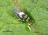 Blastothrix brittanica