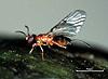 Ceratosolen arabicus