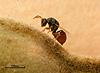 Risbecoma capensis