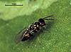 Epiclerus nomocerus