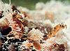 Acerophagus flavidulus
