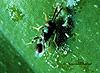 Tetracnemoidea sydneyensis