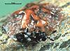 Cheiloneurus nigrescens