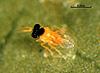 Encarsia nigricephala