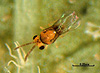 Encarsia sophia