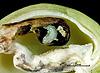 Megastigmus pistaciae