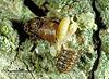 Baryscapus erynniae