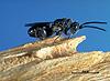 Trigonura californica