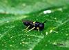 Coccophagus lycimnia