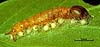 Euplectrus xiomarae