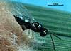 Tetrastichus schoenobii