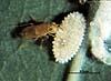 Acerophagus coccois